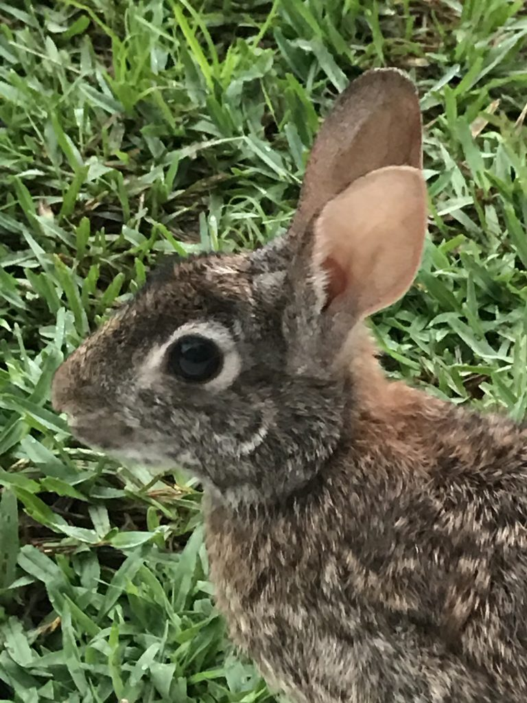 A little bunny rabit